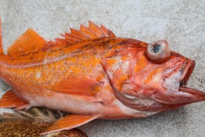 Yelloweye Rockfish - my window into the complexities of Coastal Conservation.