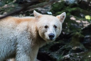 Who's watching who? A parting glance from the Kermode Bear - the charismatic white-phase bear that to many represents the Great Bear Rainforest. Klemtu, BC.
